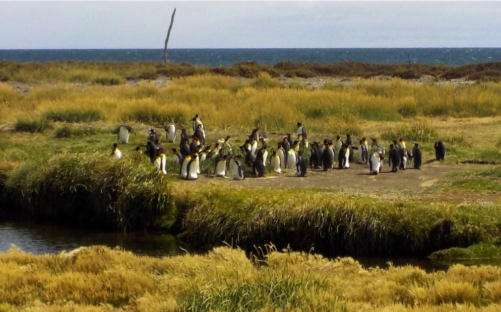 Pitits pinguins